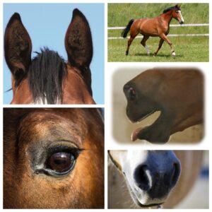 heste kommunikere via kroppen